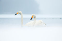 Whooper swans Royalty Free Stock Photos