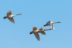 Whooper swans and a Mute swan Stock Photography
