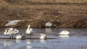 Whooper Swans and Mute Swans Stock Photos