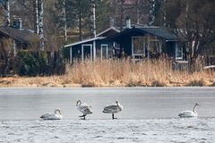 Whooper swans resting on the ice of frozen lake during the migration Stock Photo