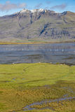Whooper swans and sheep in an Icelandic fjord, Berufjordur Royalty Free Stock Images