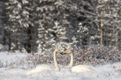 Whooper swans on a snowy swamp Royalty Free Stock Photography