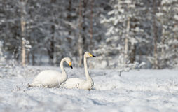 Whooper swans on a snowy Stock Photos