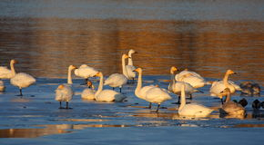 Whooper swans standing on ice Royalty Free Stock Photo
