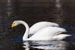 Whooper swans. Whooper swan (Cygnus cygnus) couple swimming stock photo