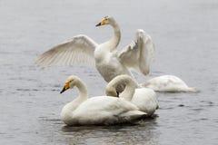 Whooper swans. Whooper swan (Cygnus cygnus) family in snowfall stock photo