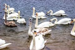 Whooper Swans swim on the shore of the reservoir in Belarus Minsk, the Minsk sea. Stock Photo