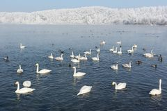 Whooper swans swimming in the lake Royalty Free Stock Image