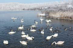 Whooper swans swimming in the lake Royalty Free Stock Images