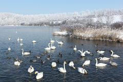 Whooper swans swimming in the lake Royalty Free Stock Photos