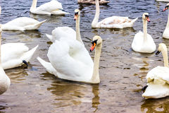 Whooper Swans swims on the shore of the reservoir in Belarus Minsk, the Minsk sea. Royalty Free Stock Photo