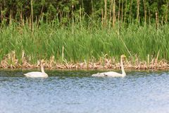 Whooper Swans with young nestlings Royalty Free Stock Photo
