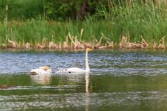 Whooper Swans with young nestlings Royalty Free Stock Photography