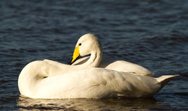 Whooper swimming on water Royalty Free Stock Photo