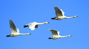 Whoopers in Flight. A group of Icelandic Whooper Swans flying against a blue sky during their winter migration in southwest Scotland stock photography