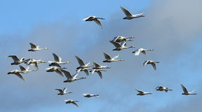 Whoopers in Flight. A group of Icelandic Whooper Swans flying against a blue sky during their winter migration in southwest Scotland royalty free stock photos