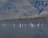 Whoopersvanar i en isländsk fjord, Berufjordur Arkivfoto