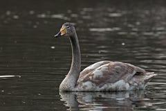 Whooperzwaan, Cygnus-cygnus die op het meer zwemmen royalty-vrije stock fotografie