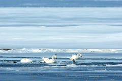 Whooperzwaan of Cygnus-cygnus die op meer in de winter, Hokkaido, Japan, zwaanmeer, birding avontuur in Azië, mooie elegant ruste stock fotografie