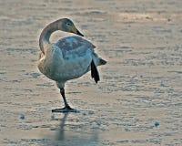 Whooperzwaan, Cygnus-cygnus jonge vogel die schoonmaken stock afbeelding