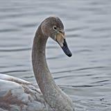 Whooperzwaan, Cygnus-cygnus jonge vogel op het meer royalty-vrije stock afbeeldingen
