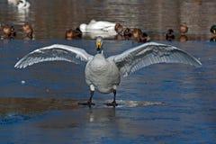 Whooperzwaan, Cygnus-cygnus met uit vleugels stock foto's