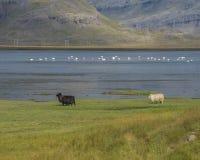 Whooperzwanen en schapen in een Ijslandse fjord Stock Foto's