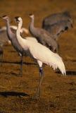 Whooping Crane Royalty Free Stock Image