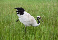 Whooping crane Royalty Free Stock Photo