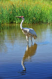 Whooping Crane Stock Images