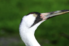 Whooping Crane Royalty Free Stock Photos