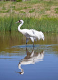 Whooping Crane Stock Photography