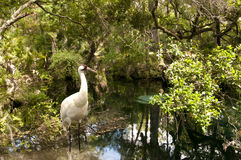 Whooping Crane Royalty Free Stock Image