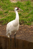 Whooping Crane. Endangered, rare Whooping Crane (Grus americana) wading the edge of a stream Royalty Free Stock Images