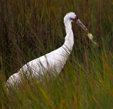 Whooping Crane And Crab Royalty Free Stock Images