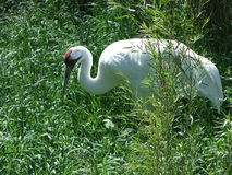 Whooping Crane in the Brush. Love the way this cranes eye just stares at you, it is almost chilling Royalty Free Stock Photos
