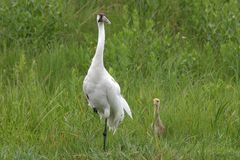 Whooping Crane and chick Stock Photography