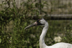 Whooping crane. A closeup of a whooping crane stock photography