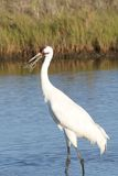 Whooping Crane with Crab Grabbing Its Bill Stock Photo