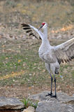 Whooping Crane doing wing flapping dance Royalty Free Stock Image
