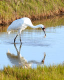 Whooping Crane Eating Crab with Reflection Stock Photos