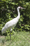 Whooping Crane Endangered Species Waterfowl Bird Royalty Free Stock Photo