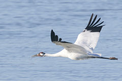 Whooping Crane in Flight. Whooping Crane Flying Over Water Stock Images