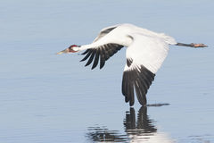 Whooping Crane in Flight With Wing in Water Stock Images