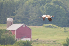 Whooping Crane. Flying near a farm stock photography