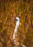 Whooping Crane 3 Stock Photos