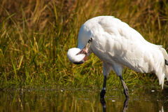 Whooping Crane 6 Stock Photos