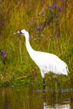 Whooping Crane 5 Stock Photos