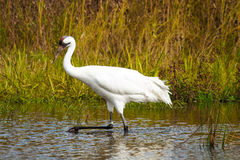 Whooping Crane 1 Stock Images