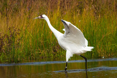 Whooping Crane 2 Royalty Free Stock Photography